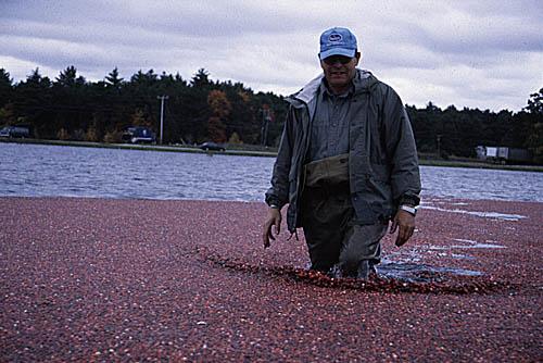 Ben Carver walking in bog during wet harvest. Photo by Maggie Holtzberg.